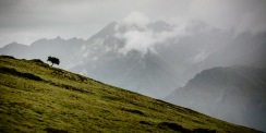 A single tree on the slopes in the midi-Pyrenees near Bareges